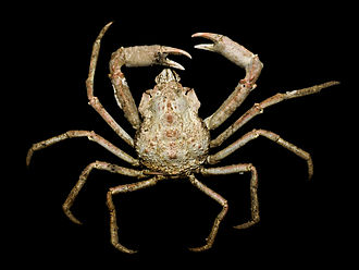 Hyas (genus) - Hyas coarctatus