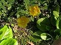 Hypericum calycinum006.jpg