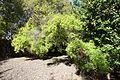 Hypericum canariense - Jardín Botánico de Barcelona - Barcelona, Spain - DSC08904.JPG