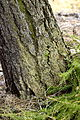 Hypocenomyce scalaris (Ach. ex Lilj.) Choisy (8083041747).jpg