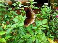 Hypolimnas bolina- Great Eggfly, വൻ ചൊട്ടശലഭം.jpg