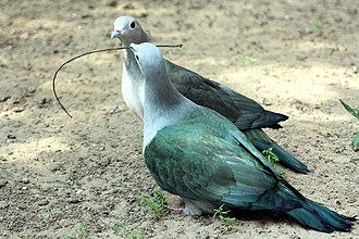 Sajnakhali Wildlife Sanctuary - Image: IMPERIAL GREEN PEGION