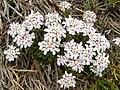 Iberis aurosica ssp cantabrica (Picos).jpg