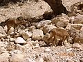 Ibexes at Eyn Ovdat Nature Reserve - panoramio - ekeidar.jpg