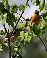 Icterus galbula -Baltimore, Maryland, USA -juvenile and parent-8.jpg