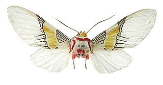 <i>Idalus</i> genus of insects