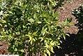 Ilex verticillata Winter Gold 2zz.jpg
