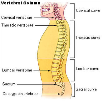 Vertebral column - The human vertebral column and its regions
