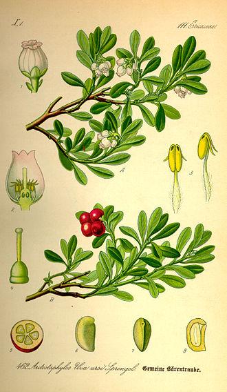 Bearberry - Common bearberry from Thomé Flora von Deutschland, Österreich und der Schweiz 1885