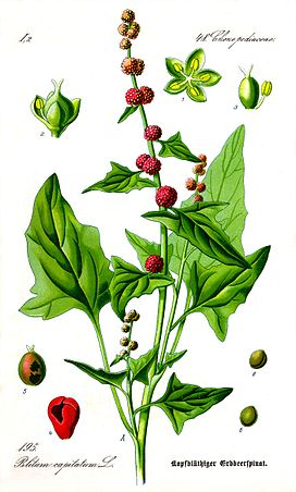 Illustration Blitum capitatum0 clean.JPG