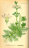 Illustration Hottonia palustris0.jpg