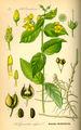 Illustration Lysimachia vulgaris0.jpg