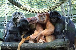 Image-Lutung Group 02 Zoo Hannover Germany.JPG