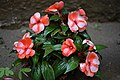 Impatiens Walleriana Red White.jpg