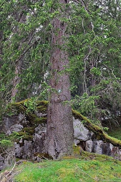 File:Imst - Naturdenkmal ND 2 18 - 1 von 2 Fichten Waldkönig und Waldkönigin.jpg