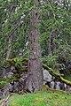 Imst - Naturdenkmal ND 2 18 - 1 von 2 Fichten Waldkönig und Waldkönigin.jpg