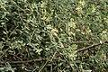 Indian Cadaba (Cadaba fruticosa) flowering shrub in Hyderabad, AP W IMG 7548.jpg