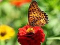 Indian Fritillary Butterfly ツマグロヒョウモン (226297623).jpeg