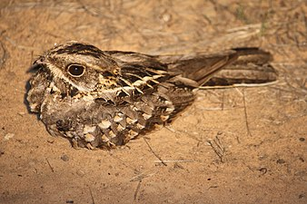 Indian Nightjar David Raju.jpg