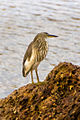 Indian Pond Heron (5143179690).jpg