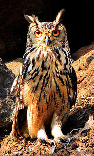 Indian eagle-owl species of bird