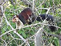 Indian giant squirrel-from Peringal Kuthu IB KSEB Ltd..jpg