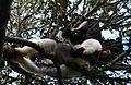 Indri Indri 1.jpg