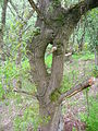 Inosculated Quercus petraea.JPG