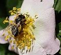 Insekt auf einer Blüte der Hunds-Rose 7923.JPG