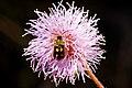 Inseto Vaquinha em Flôr Dormideira (Diabrotica sp. e Mimosa pudica) - Cucumber beetles and Mimosa pudica.jpg
