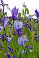 IrisSibirica Blossoms.jpg