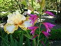 Iris au jardin botanique de Madrid.JPG