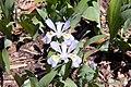 Iris cristata 9zz.jpg