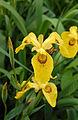 Iris sp (2944490616).jpg