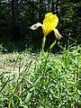 Iris variegata sl69.jpg
