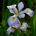Iris virginica 2.jpg