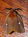 Isabel's Slug Moth (Chrysopoloma isabellina) (12053948113).jpg