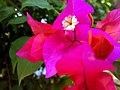 JNU Bougainvillea Flower.jpg