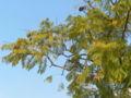 Jacaranda mimosifolia.jpeg