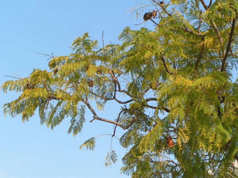 Foto blog de nacho san miguel arboles ornamentales de for Imagenes de arboles ornamentales
