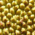 Jackfruit closeup.jpg