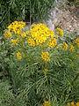 Jacobaea adonidifolia 02.jpg