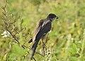 Jacobin cuckoo 6 (Clamator jacobinus).jpg