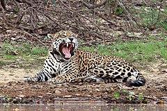 Jaguar (Panthera onca palustris) male Rio Negro 2.JPG