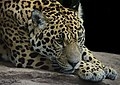 Jaguar Close up (23718114439).jpg