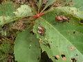Japanese Beetles 2.JPG