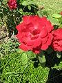 Jardim de Santa Bárbara (rosa vermelha).JPG