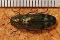 Jewel Beetle (Coraebus florentinus) (8252083327).jpg