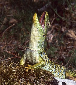 Jewelled Lizard (Timon lepidus) (Found by Jean NICOLAS) (43583896465).jpg