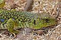 Jewelled Lizard (Timon lepidus) female (found by Jean NICOLAS) - Flickr - berniedup.jpg